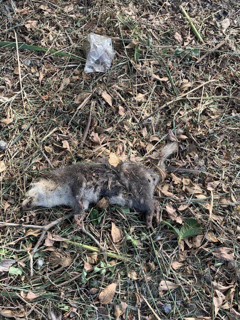 桃園市龍潭及大溪山區,陸續有登山客發現鼬獾屍體,動保處獲報前往處理,初步排除罹患...