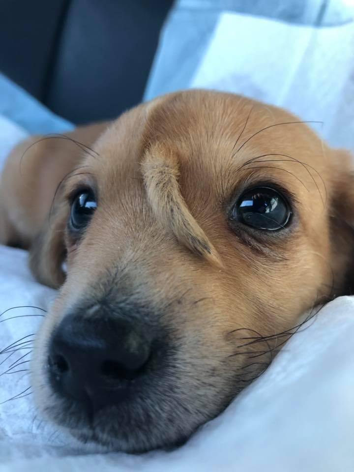 美國一隻小狗臉上多了一條尾巴。取自臉書(@macthepitbull)