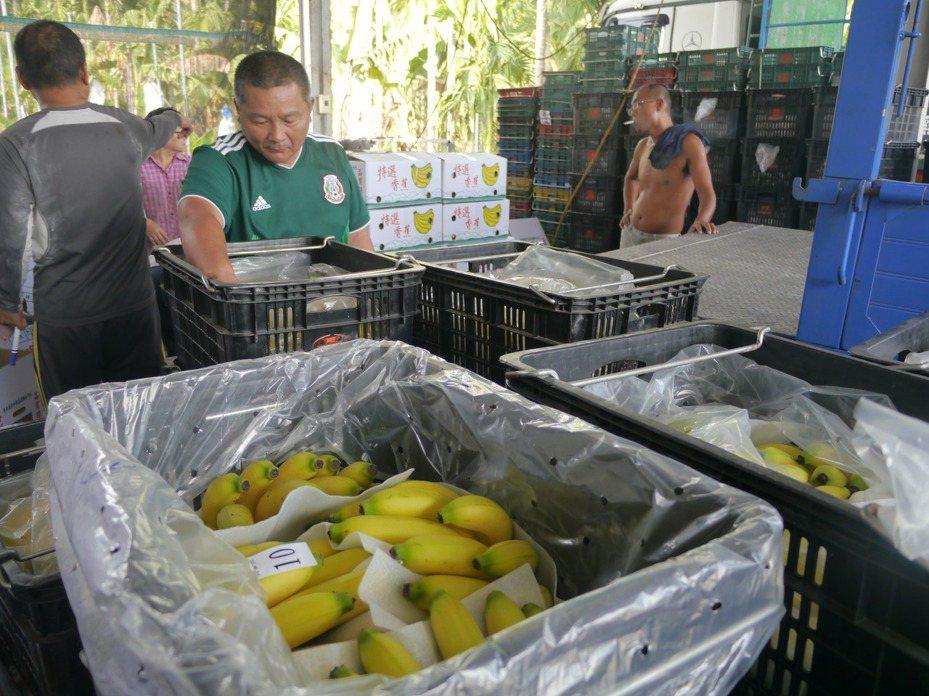 已進入冬蕉產季,旗山一處果菜合作社工作人員忙著將香蕉包裝出貨。記者徐白櫻/攝影