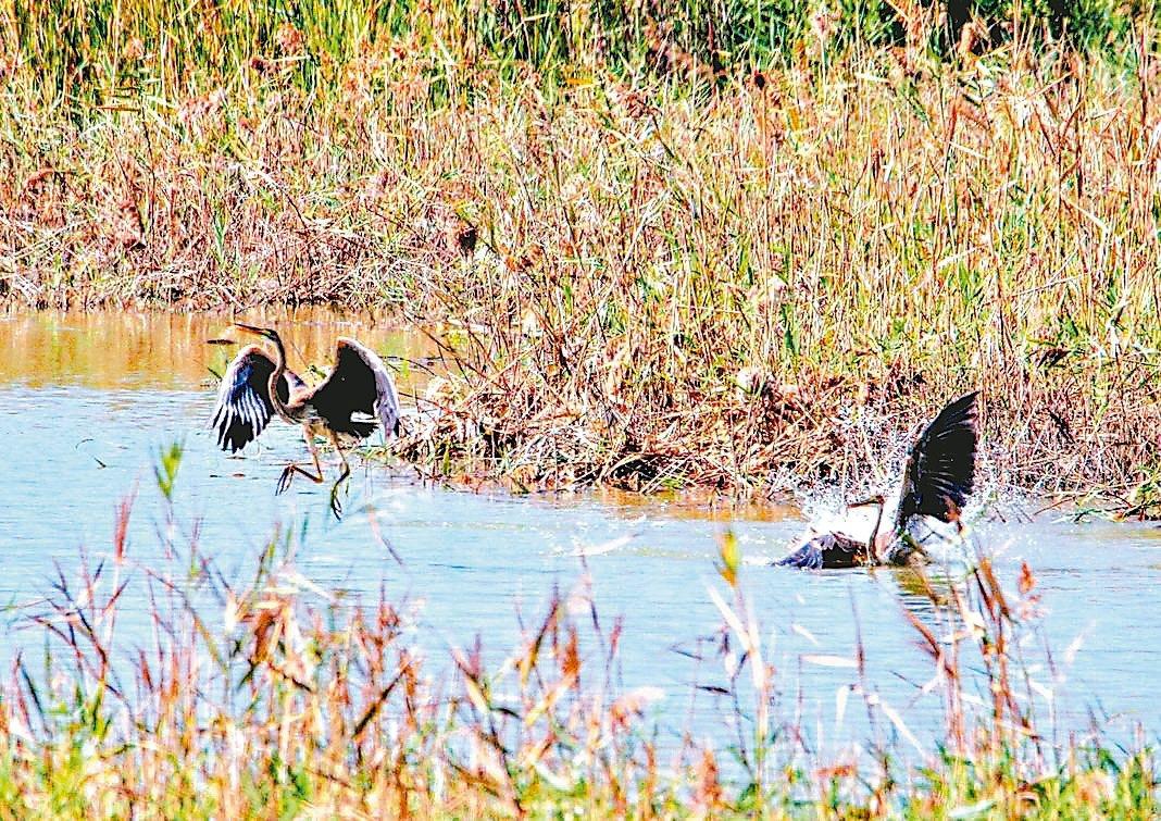 高雄茄萣濕地今年出現一對紫鷺駐留多時,牠們遠從西伯利亞南下台灣過冬,成鳥羽色鮮豔...
