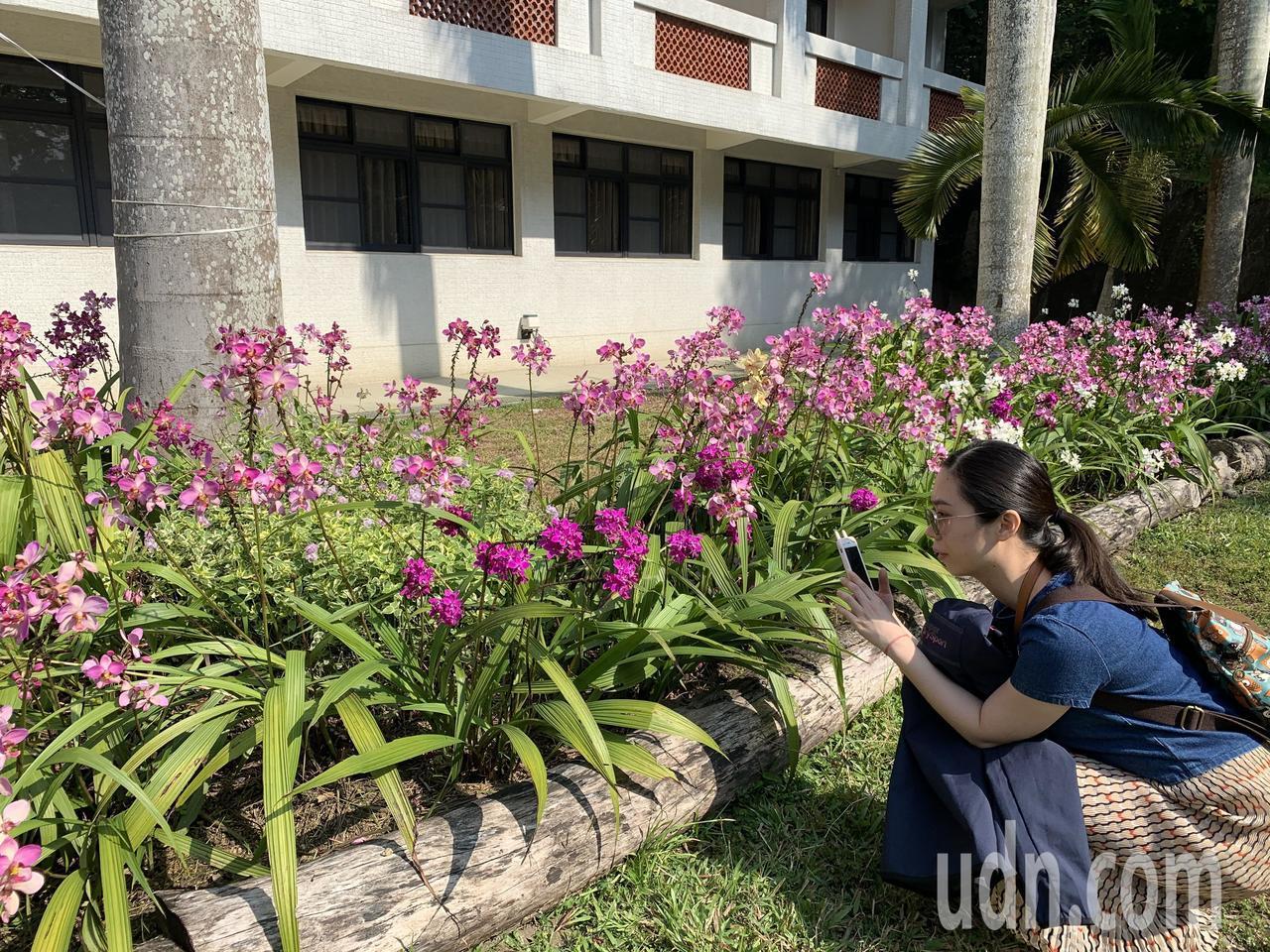 台南區農改場育成苞舌蘭新品種,在新化林場花期已達半年。記者吳淑玲/攝影