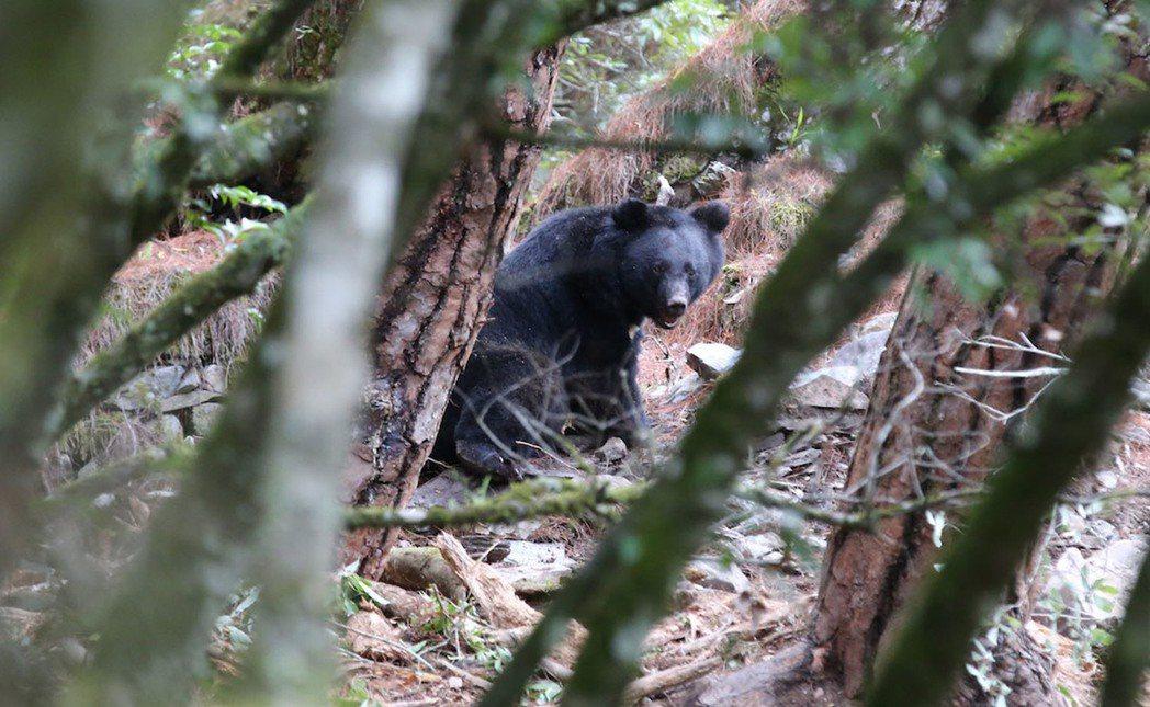 麥覺明在「黑熊來了」捕捉台灣黑熊的珍貴影像。圖/大麥影像傳播工作室提供