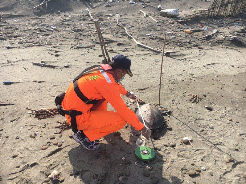 苗栗縣後龍鎮海寶溝沙灘月初發現一隻死亡綠蠵龜,相同地點今天上午又發現有綠蠵龜陳屍海灘,海巡人員趕往處理。圖/第三岸巡隊提供