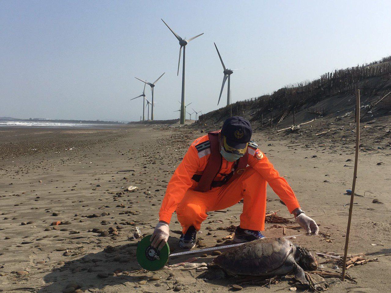 苗栗縣後龍鎮海寶溝沙灘月初發現一隻死亡綠蠵龜,相同地點今天上午又發現有綠蠵龜陳屍...