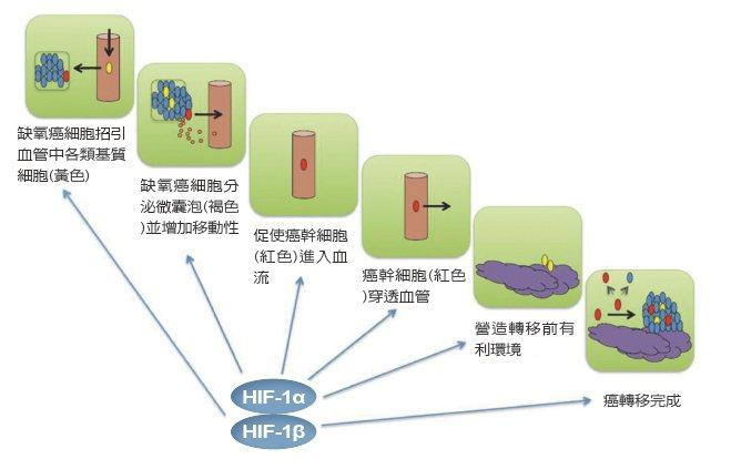 缺氧誘導因子上述各步驟,均靠相關基因轉錄活化,導致原發病灶轉移到全身各器官,...