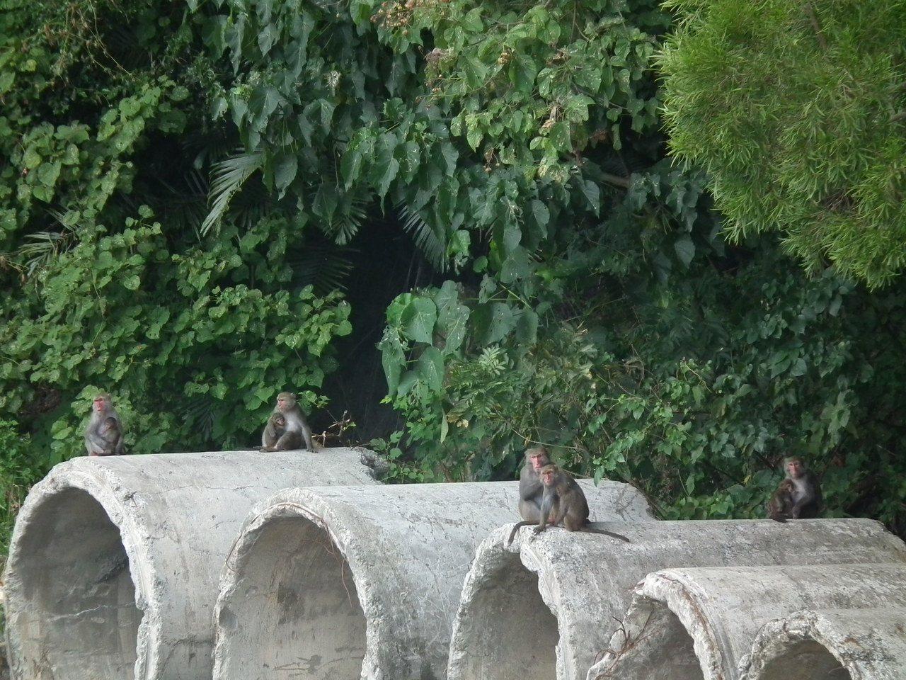 舊公路上常見整群野生台灣獼猴在公路旁休息、嬉戲。圖/讀者提供
