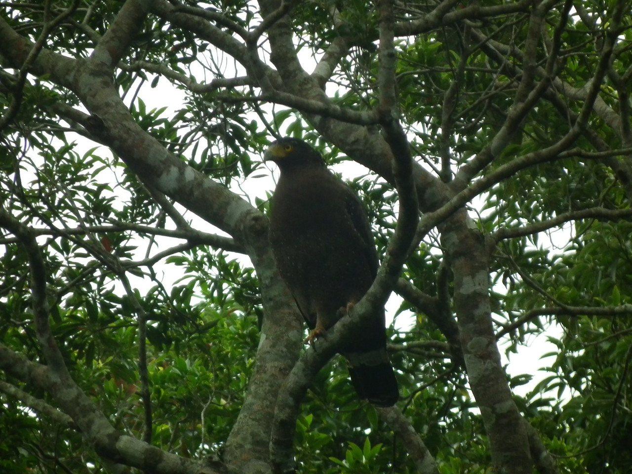 舊公路動物變多了,也會看到猛禽鳥類低空盤旋,或棲息在路旁樹梢。圖/讀者提供