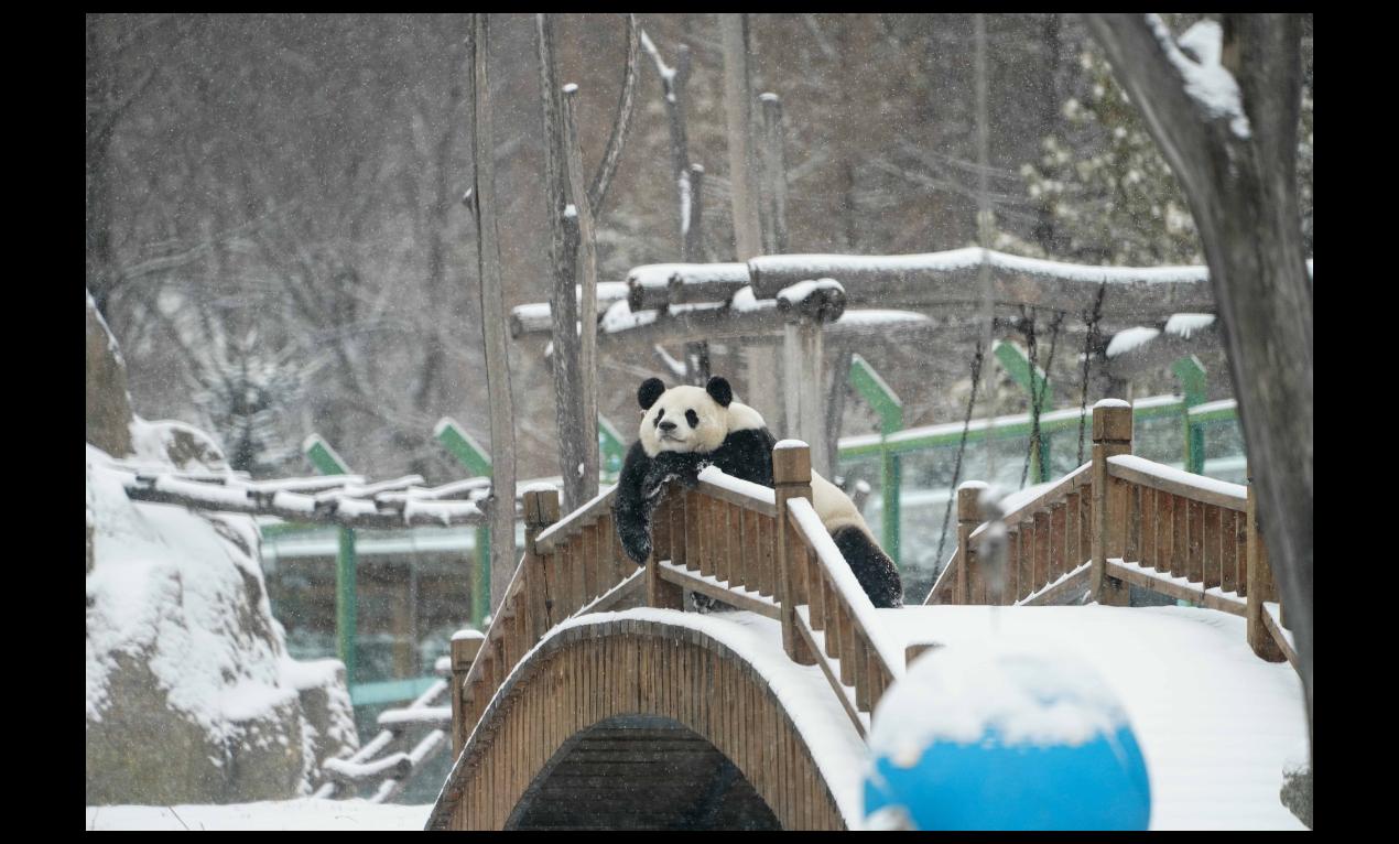 黑龍江大興安嶺地區近日最低溫度已接近零下40℃,不過亞布力熊貓館內大熊貓思嘉似乎...