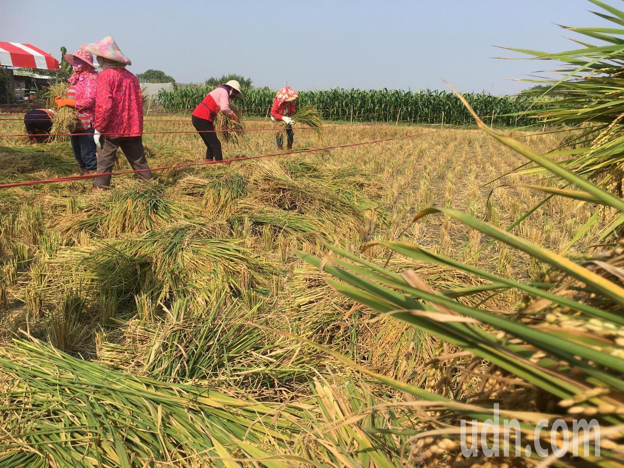雲林縣二期稻作陸續收割,林內鄉農會為推廣國產優質稻米,今天舉辦割稻競賽,逾百人下...