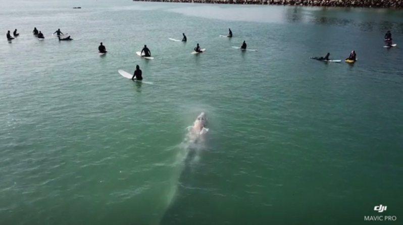 今年夏季時常傳出,無人機拍到鯊魚出沒海灘水域、甚至襲擊人的消息。一名住在加州南部居民日前在家附近海邊玩無人機時,也拍到海中有生物正游向一群衝浪客,但幸好這回不是鯊魚,而是一頭體型龐大的好奇鯨魚。美聯社/Storyful/Payton Landaas