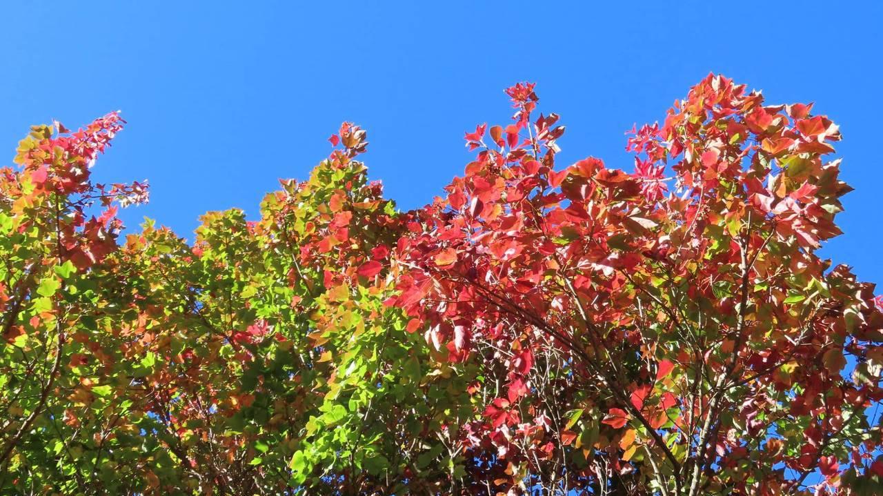 秋季限定美景! 阿里山楓紅了,賞楓趁現在。圖/蘇家弘提供