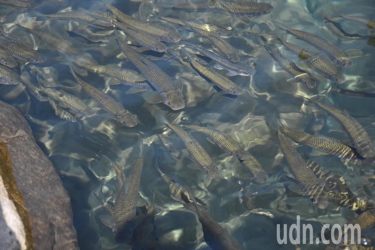 阿里山鄉山美社區達娜伊谷自然生態園區的鯝魚已復育成功,目測約有上萬隻鯝魚。記者陳...