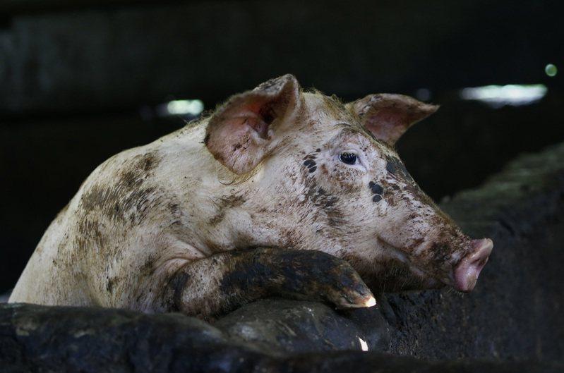 中國官媒報導,中國科學家研究非洲豬瘟病毒取得重要進展,為防治非洲豬瘟的新型疫苗開發創造條件,但並未表示距離開發出非洲豬瘟疫苗還有多遠的路。 歐新社