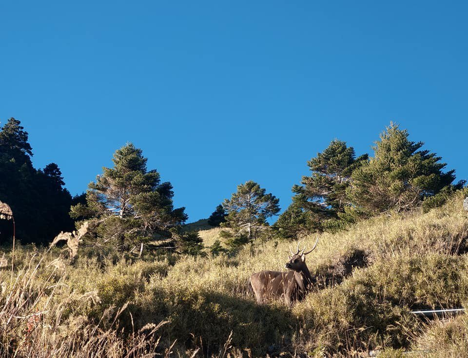 合歡山松雪樓後方往合歡東峰步道最近水鹿頻繁現身,藏身山坡覓食吃草,呼籲民眾可遠觀...