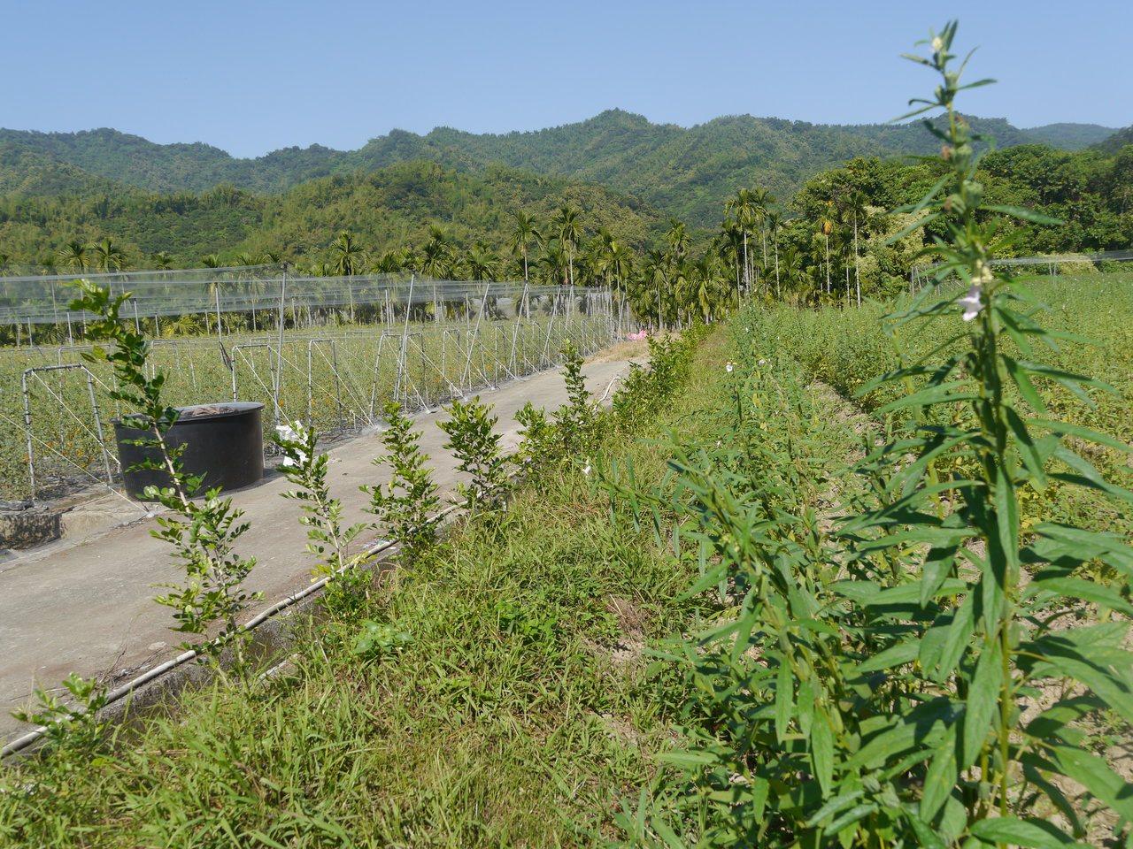 台灣大學研究生古子諒協助高市美濃農友營造的田埂綠籬,這排七里香可讓有機栽種的芝麻...