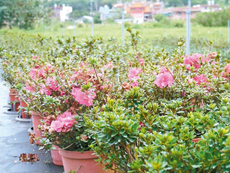 金山杜鵑栽培品種眾多,四季都有杜鵑花。 圖/新北市農業局提供