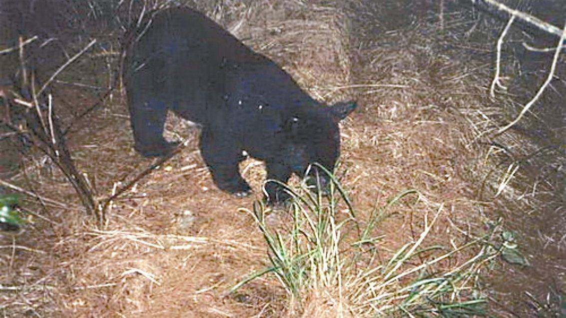 東勢林管處保育員10年前在大雪山拍到台灣黑熊蹤跡,近年保育有成,數量增加。 圖/...