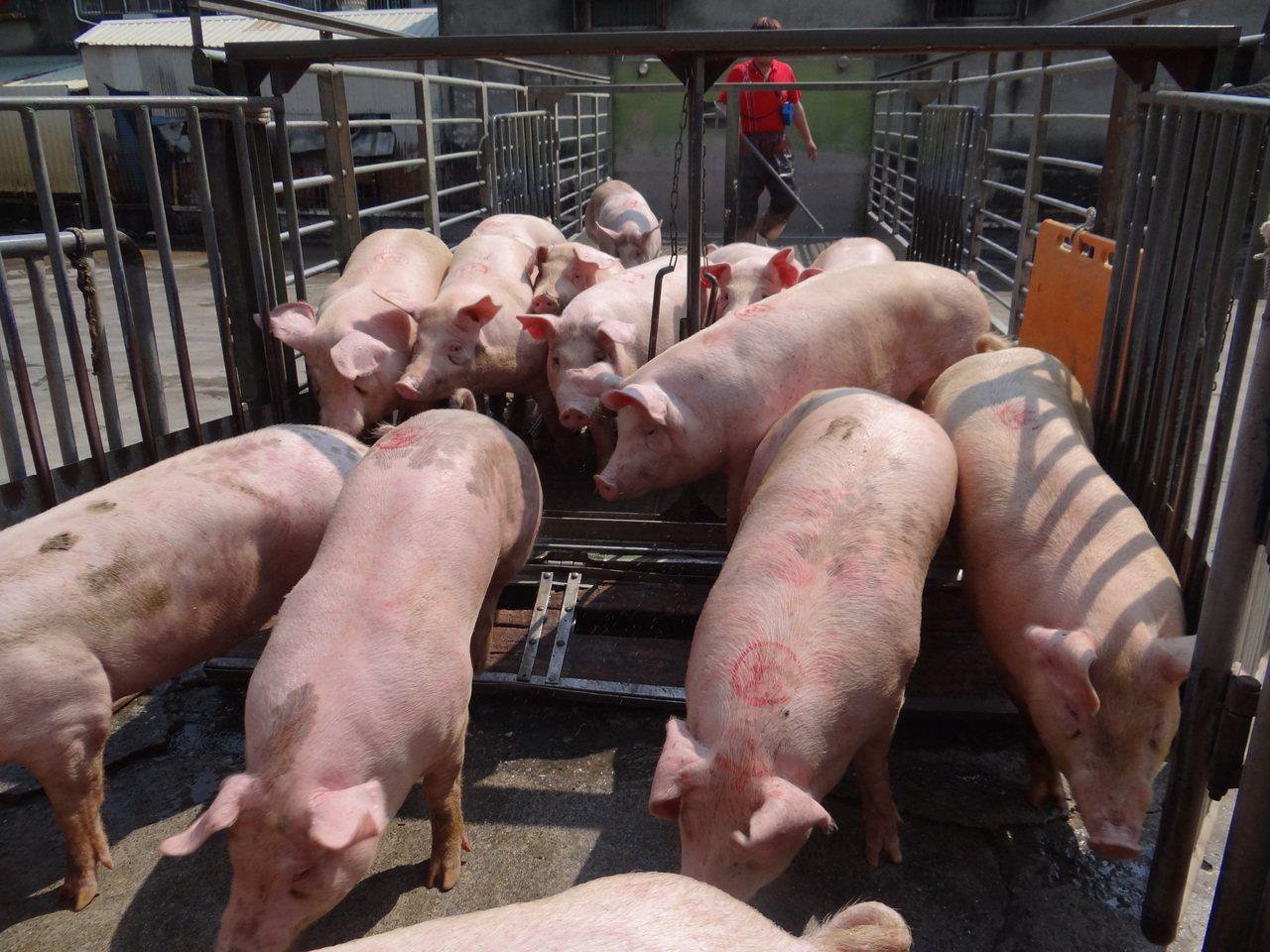 農委會主委陳吉仲保證,本周農委會將提高毛豬拍賣價到每公斤70元。 圖/聯合報系資...