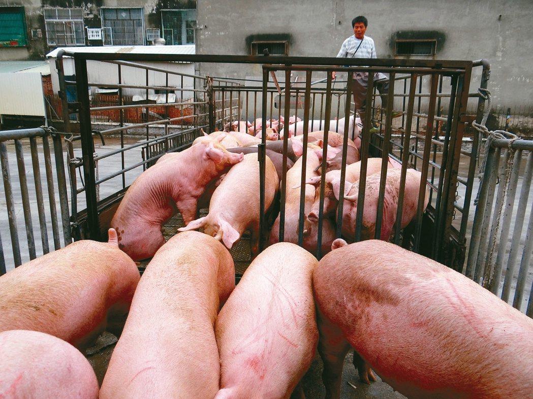 國內毛豬價格一路下滑,農委會擬收購體重過重的毛豬。 本報資料照片