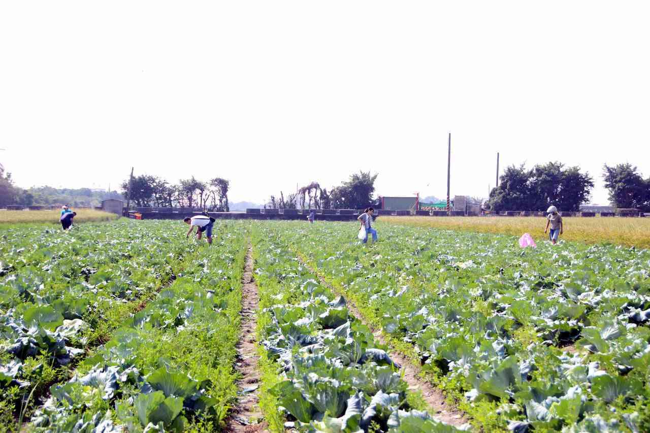 高麗菜8月下旬一波超種,近期陸續上市,使得價格走低。 聯合報系資料照/記者林敬家...