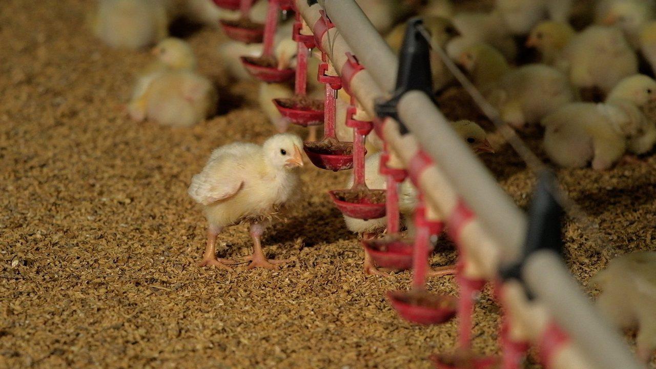 養雞協會表示,在台灣各大飼料廠都有安排「飼料配方營養師」為雞隻調製營養均衡的飼料...