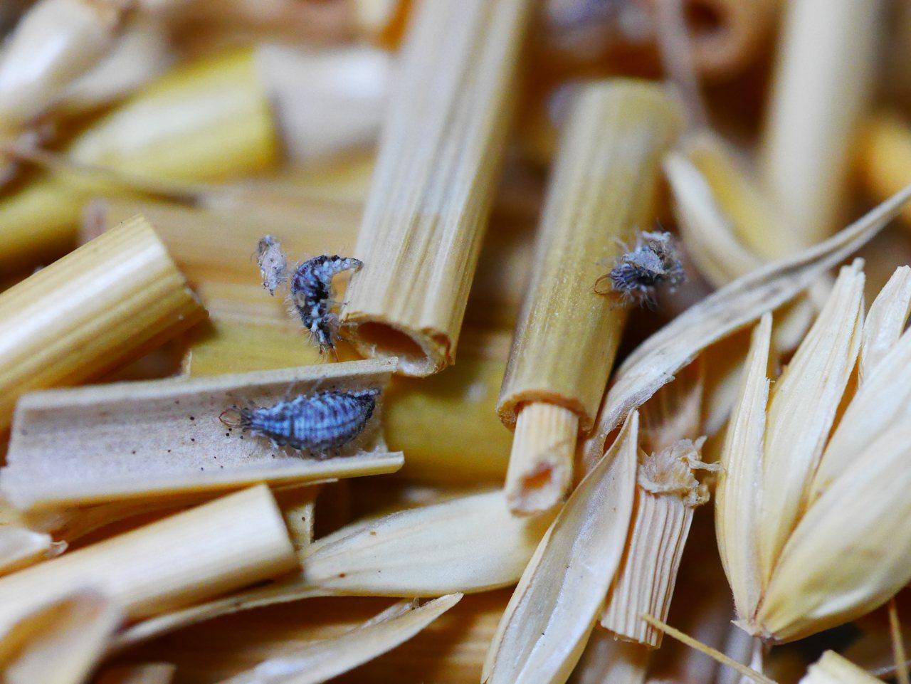 基徵草蛉於麥桿殼混合物內,可提升10%草蛉存活率,減少商品損失、降低生產管銷成本...