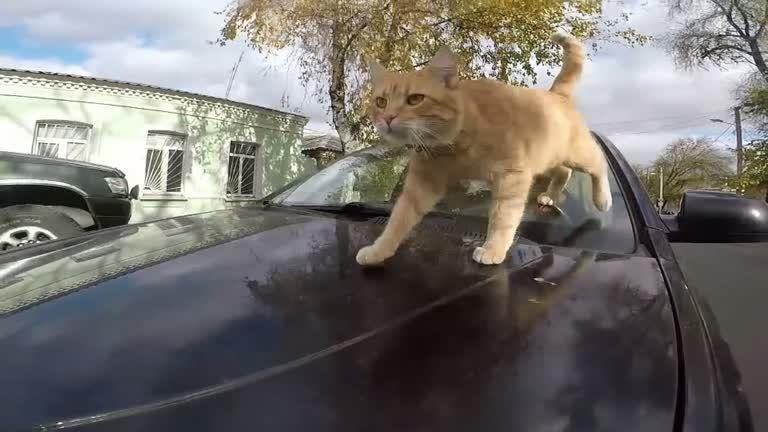 烏克蘭東北部的第二大城卡爾可夫有輛獨一無二的計程車,駕駛每天帶著自家的貓星人一起...