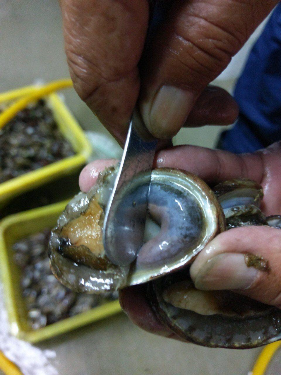 為豐富海洋資源,新北市洋資源復育園區進行九孔成貝種苗繁殖。圖/新北市農業局提供