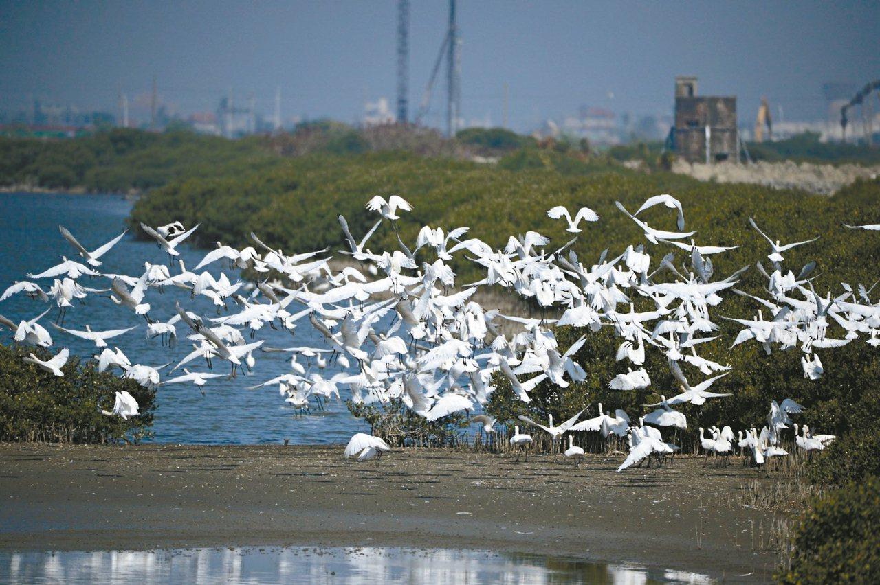 七股頂山黑面琵鷺棲息數量高達621隻,創歷年最高棲息紀錄。 圖/台南市生態保育學...
