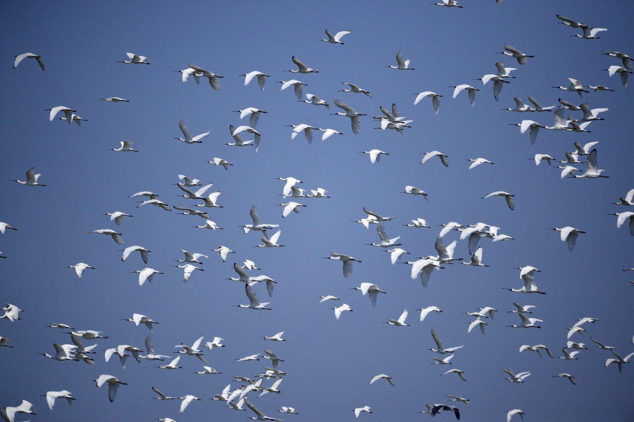 七股頂山黑面琵鷺棲息數量高達621隻,創歷年來最高的棲息記錄。圖/黃永豐提供