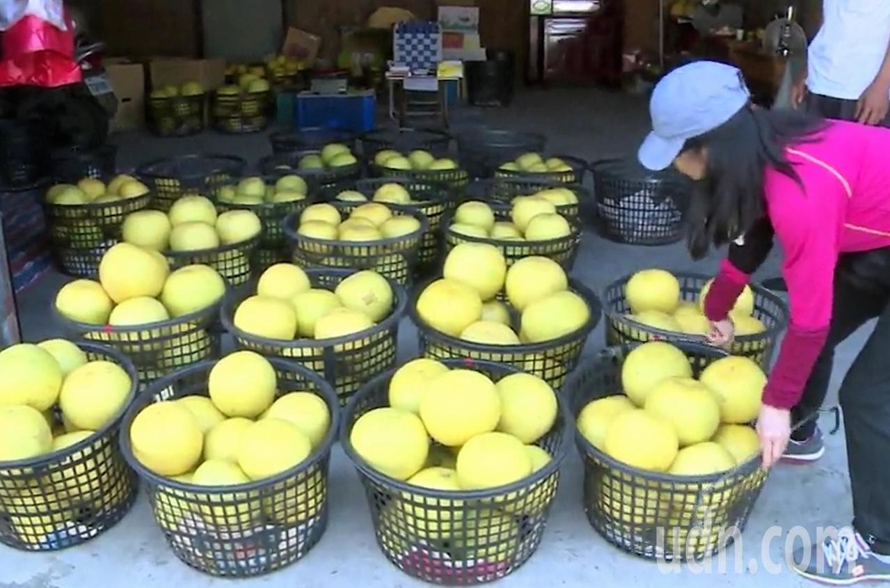 彰化縣二水鄉的白柚進入產季,二水白柚水分多、甜度夠,口感不輸文旦。記者凌筠婷/攝...