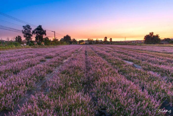 桃園仙草花節今年種植面積擴大為5公頃。圖/桃園市政府新聞處提供