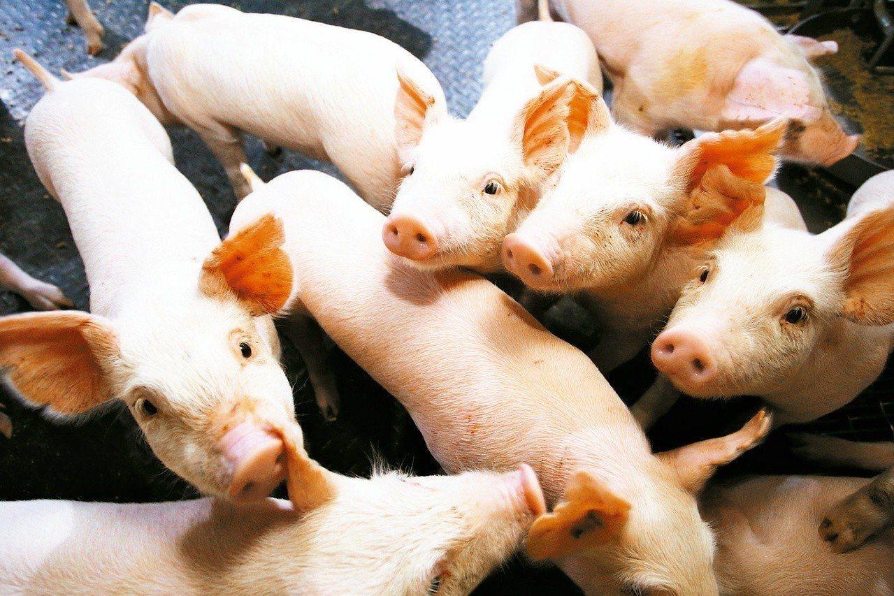 中央畜產會將以每公斤65元收購140公斤以上的白豬。本報資料照片