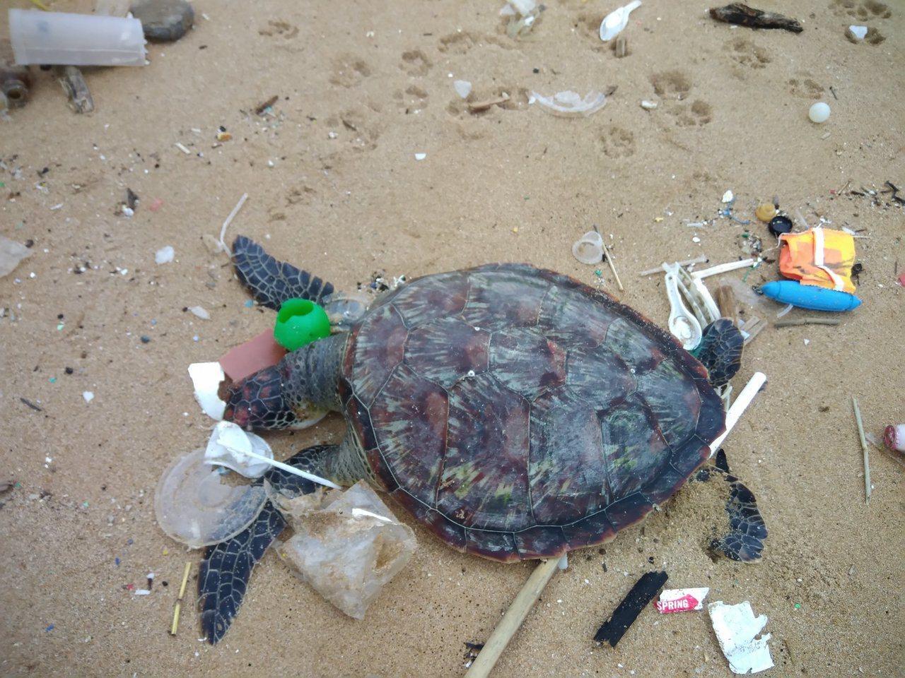 基隆市外木山大武崙沙灘今天有民眾發一隻擱淺死亡的綠蠵龜,周圍被塑膠垃圾包圍。圖/...