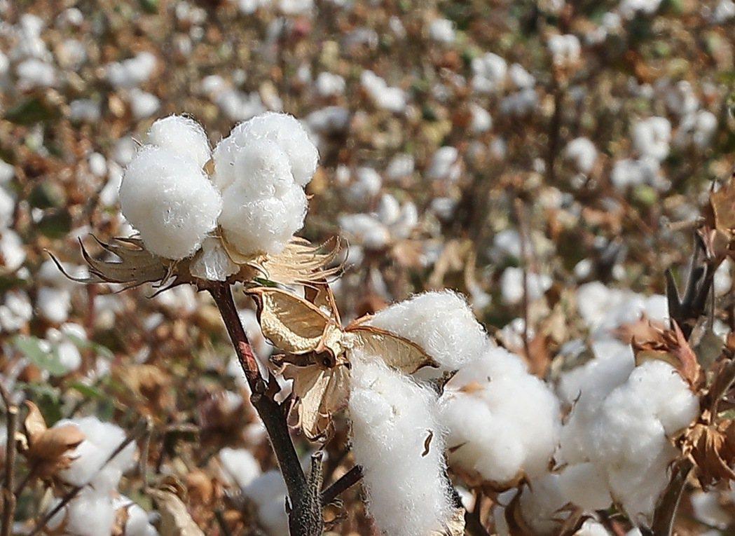 圖為棉花示意圖。新華社