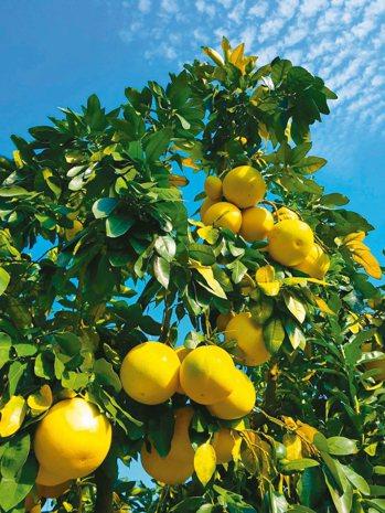 琯溪蜜柚,清乾隆年間已被列為朝廷貢品。 特派員王玉燕/攝影
