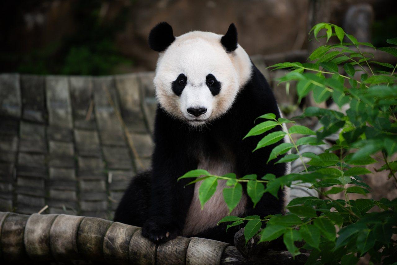 在華府出生的大熊貓貝貝19日上午搭乘飛往中國成都的專機,離開華府。(國家動物園提...