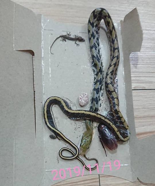 原PO表示自家住在4樓,近期發現蟑螂屋黏到一條蛇,而這已經不是第1次發生了。圖擷...