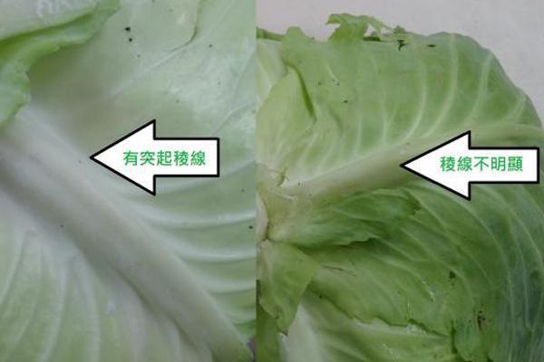 左邊的高麗菜稜線明顯,右邊則不明顯。 圖片提供/Fooding台灣好食材 楊...