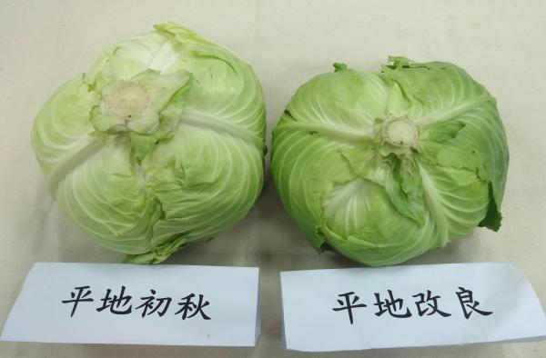 平地「初秋」與改良品種整顆長這樣! 圖片提供/Fooding台灣好食材 楊慧玉