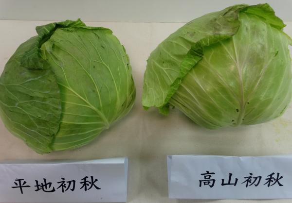 都是「初秋」品種,左邊平地生產種植,右邊為高山種植。 圖片提供/Fooding台...