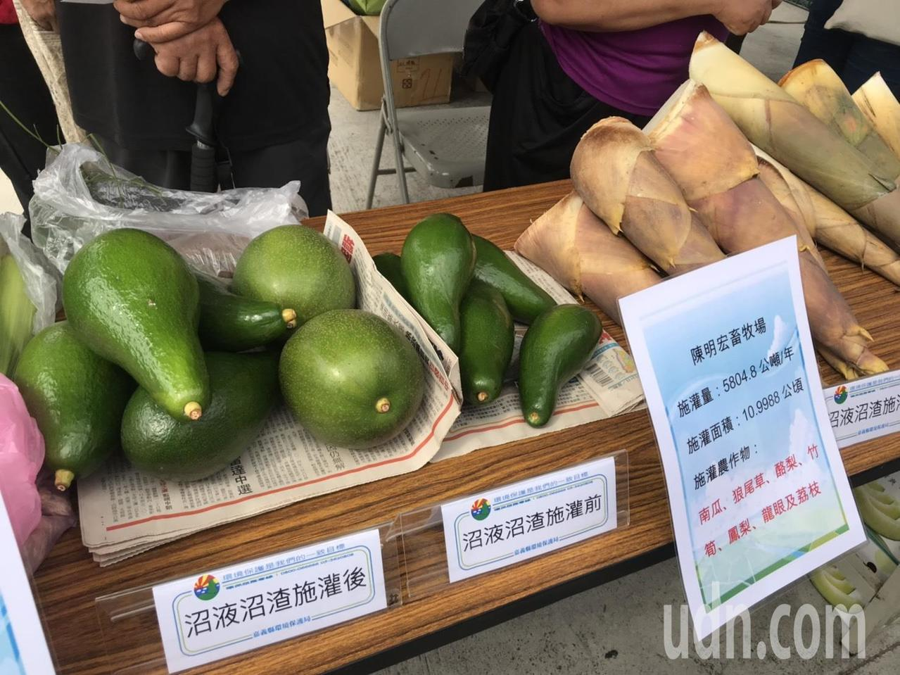由陳明宏畜牧場所出產的酪梨,施用畜牧糞尿有機肥前後對比,產出的果實大小差異明顯。...