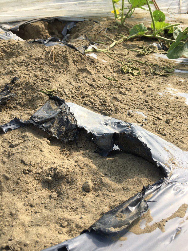 台南北門農田日來傳遭流浪狗四竄破壞,居民惱怒不已。圖/蔡育輝服務處提供