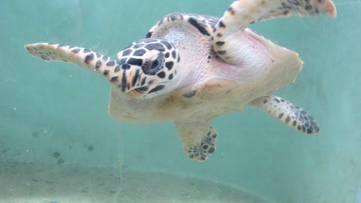據縣府調查,目前在小琉球海域出沒的綠蠵龜約有140至150隻之間,已成為當地最有...