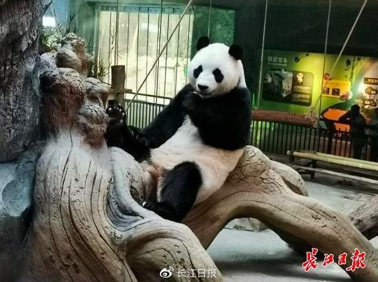 武漢動物園推出「展示大熊貓糞便,讓遊客聞聞它氣味」科普項目。很受遊客喜愛。(長江...