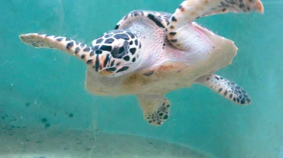 屏東縣小琉球保育綠蠵龜有成,吸引大批觀光客。 圖/屏東縣府提供