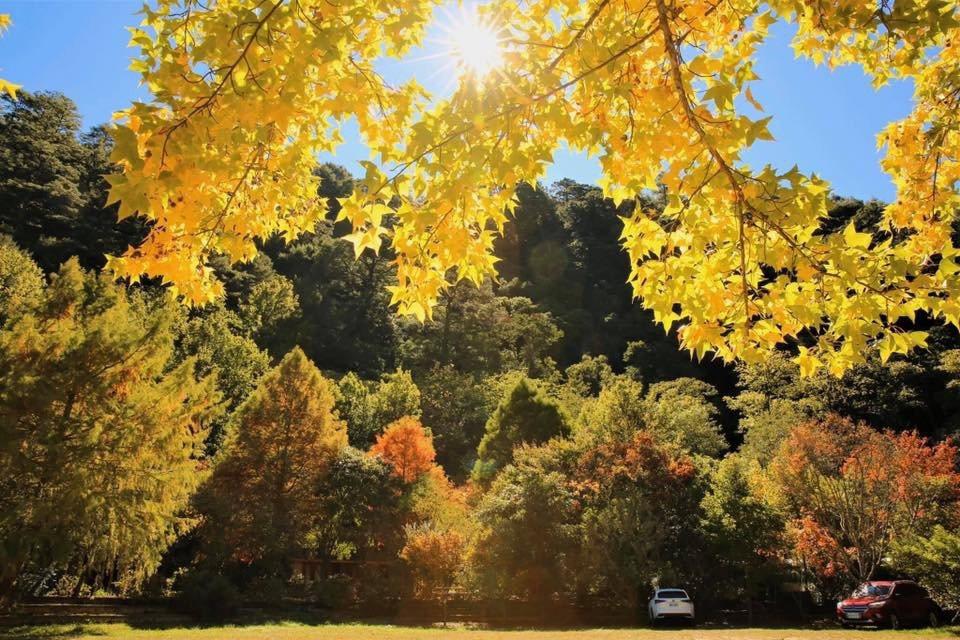 武陵農場群山森林中見楓紅,一眼看不完。 圖/武陵農場提供