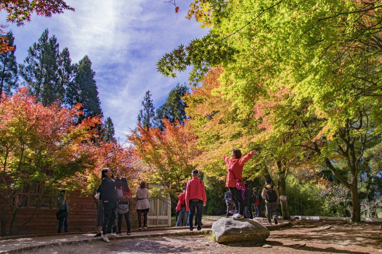 福壽山農場的楓樹,讓遊客開心張開雙臂大口呼吸。 圖/福壽山農場提供
