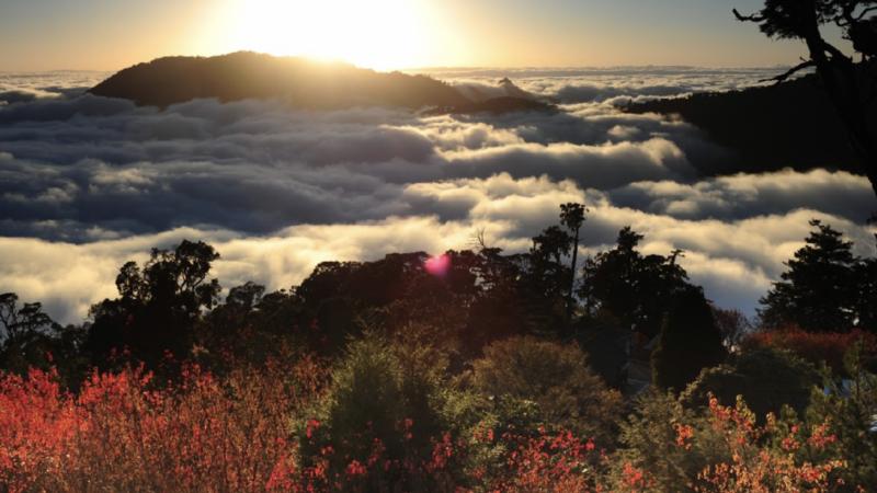 大雪山森林遊樂區停路邊就可同賞雲海與楓,氣勢磅磗。 圖/東勢林管處提供