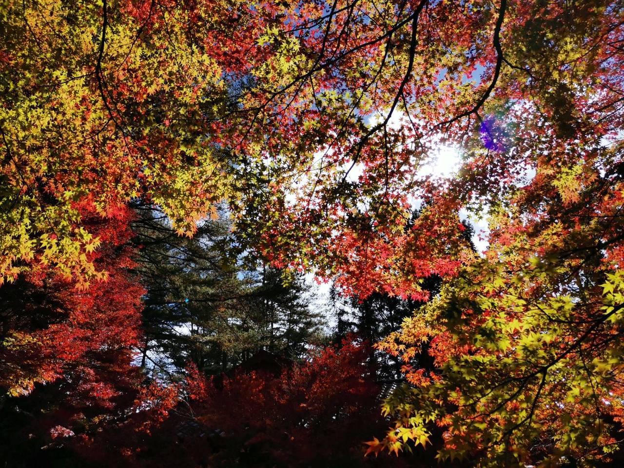 仰望福壽山農場楓葉,令人難忘。   圖/梨山賓館林閔政提供